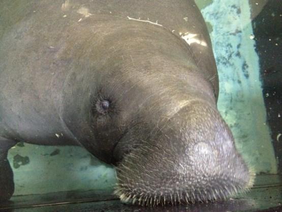 Tragisch einde voor 'Snooty', de oudste zeekoe ter wereld