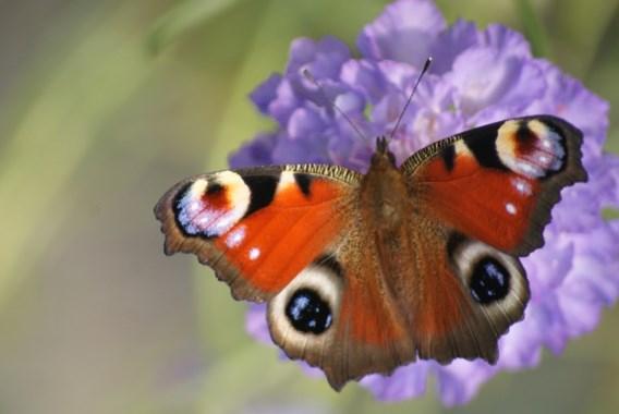 Meeste vlindersoorten beleven een topjaar