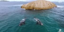 Dromerige dronebeelden van walvissen voor Australische kust