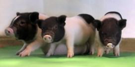 Virusvrije varkens klaar voor orgaantransplantatie naar mens
