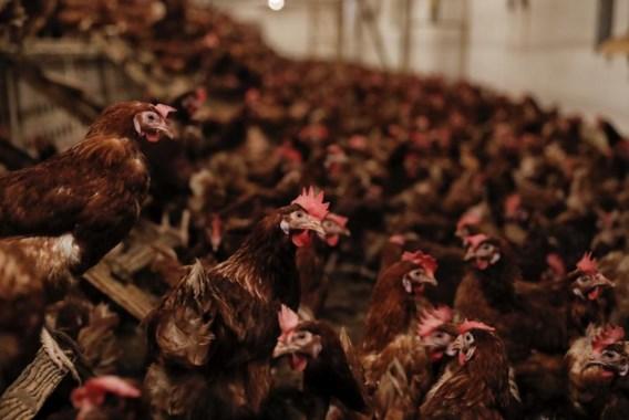 Ook vlees van legkippen wordt getest op fipronil