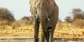 Olifant vertrappelt jager die hem wilde neerschieten