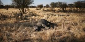 Neushoornboer zaagt hoorns af 'om zijn dieren te beschermen'