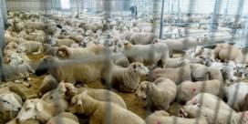 Moslims delen vlees uit in buitenland