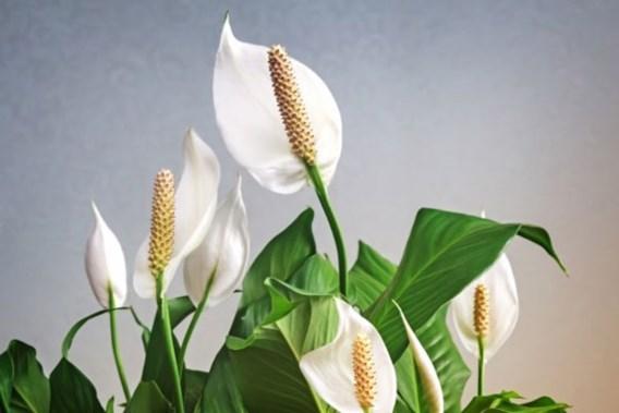 De beste planten om de lucht in huis te zuiveren