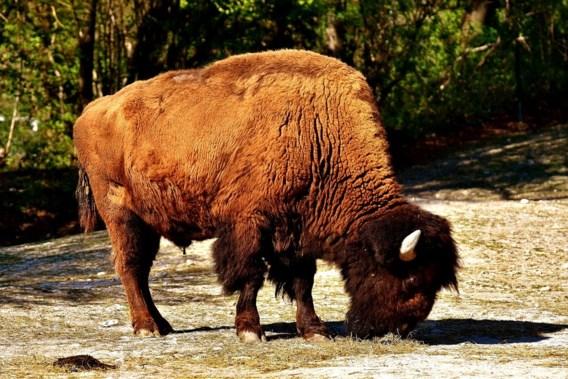 Jagers schieten eerste Duitse bizon in 250 jaar neer