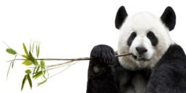 Reuzenpanda is minder gered dan het lijkt