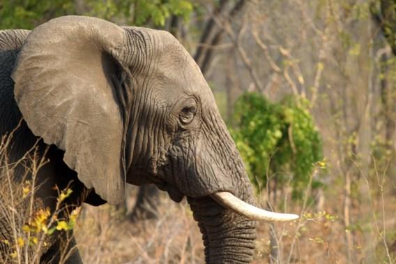 VIDEO. Zo worden jonge olifantjes gevangen