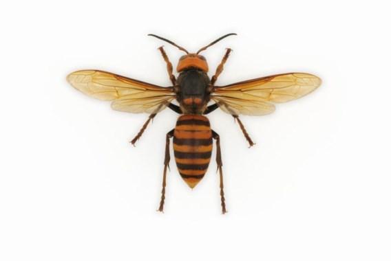 'Onnodige paniek over exotische wespensoort'