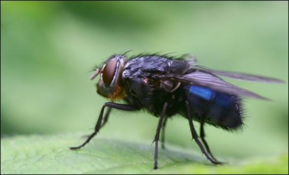 Bij welke temperatuur stopt een vlieg met vliegen?