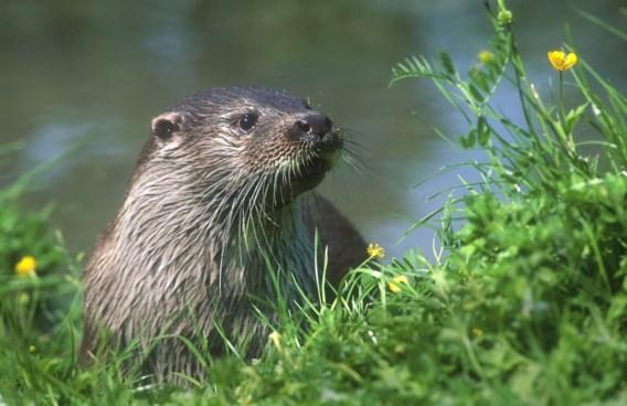 Na 30 jaar: de otter is terug in Vlaanderen