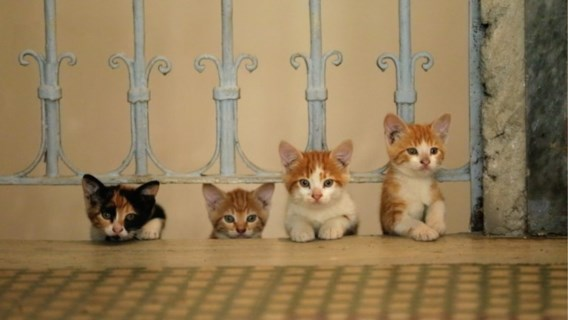 Alle katten voortaan in één grote databank: 'veel gemakkelijker om dier terug te vinden'