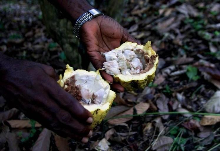 Nationale parken in ijltempo vernield om grote chocoladeproducenten te bedienen
