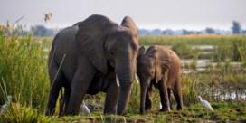 Olifant doodt Belgische vrouw in Zambia