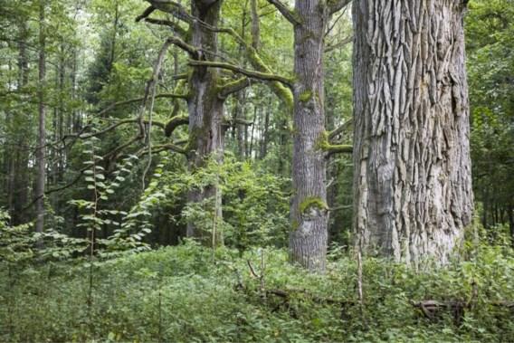 Zware dwangsommen als Polen oerbos blijft kappen