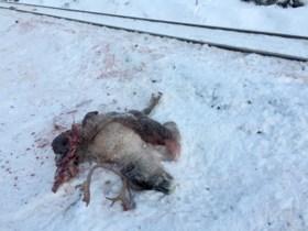 Tientallen rendieren doodgereden door Noorse treinen