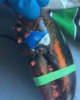 Kreeft met 'Pepsi-tattoo' toont oceaanvervuiling aan