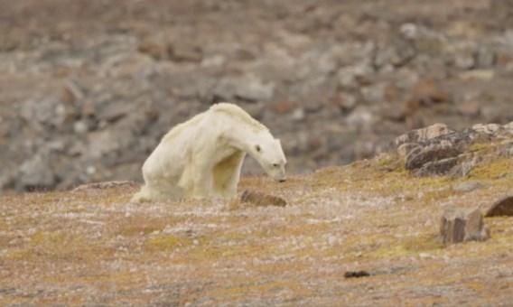 Uitgehongerde ijsbeer niet de schuld van klimaatopwarming