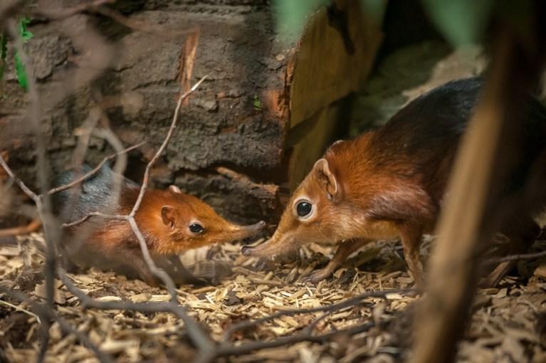 Antwerpse zoo verwelkomt tweeling slurfhondjes