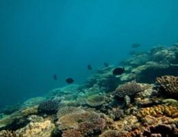 Vraatzuchtige zeester vernielt grootste koraal van de wereld