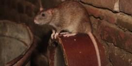 Opvallend meer ratten door aanhoudende regen: 'Ze komen zelfs door de wc'