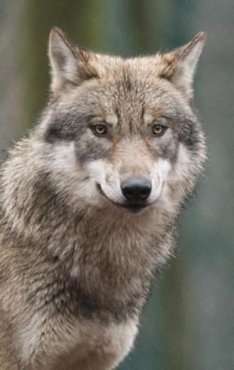 Eerste wolf gespot in Vlaanderen in meer dan 100 jaar: 'Wolvenplan nodig'