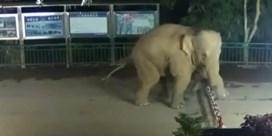 Wilde olifant op wandel langs Chinese grenspost