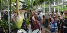 Reuzenaronskelk binnenkort in bloei in Plantentuin Meise