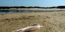 Gevaar voor massale vogelslachting op Lommelse Maatheide