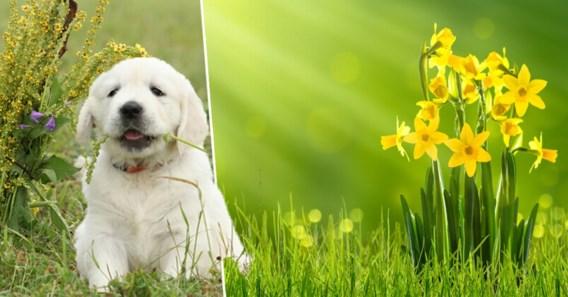 Deze planten zijn gevaarlijk voor honden en katten