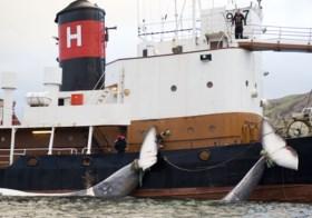 IJsland gaat na twee jaar pauze opnieuw op walvissen jagen