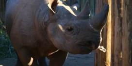 Dit zijn de eerste neushoorns in Tsjaad na vijftig jaar afwezigheid