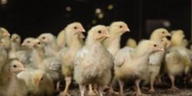 Nieuw geval van ziekte van Newcastle vastgesteld bij pluimveehandel in Haaltert