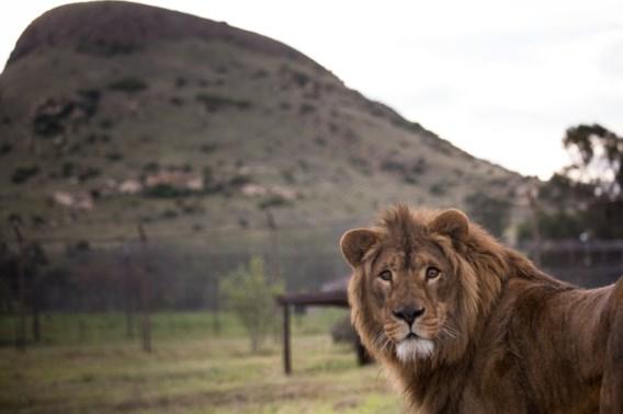 Leeuwen eten minstens drie stropers op in Zuid-Afrika