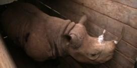 Acht neushoorns dood na verhuis voor soortbehoud