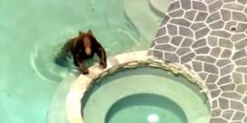 Ongelikte beer gaat zwemmen in achtertuin