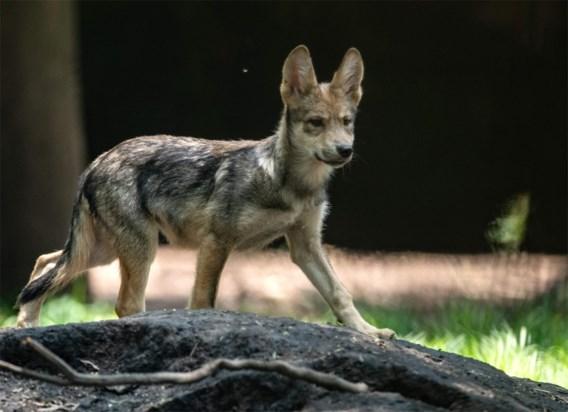 Wolf gespot in Wallonië