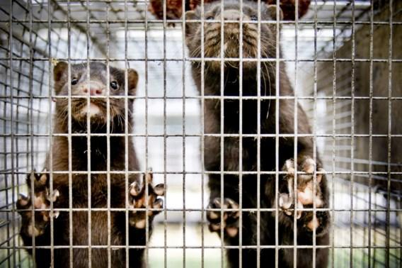 Vlaanderen gaat pelsdierkweek en dwangvoederen verbieden