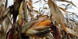 Ook 'gehackte maïs' moet aan Europese richtlijnen voldoen