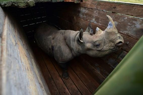 Al tien van elf in juni verhuisde zwarte neushoorns overleden in Kenia