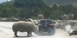 Neushoorn ramt wagen met toeristen tijdens safari