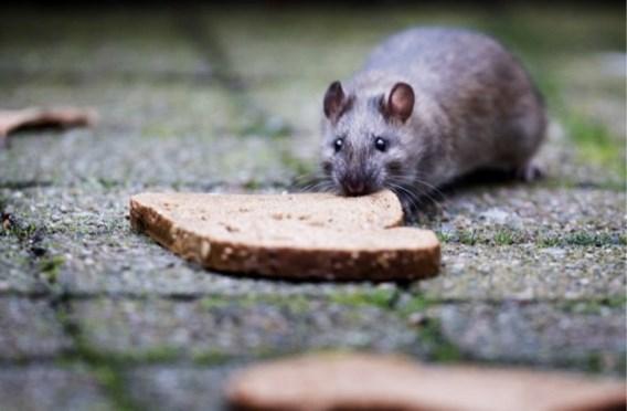 Onverwacht gevolg van droge zomerdagen: ratten komen uit riolering op zoek naar eten