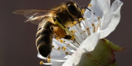 Eén bijenkiller is dood, daar is de volgende al