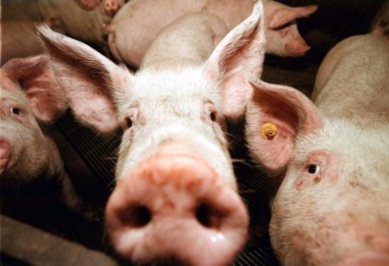 Spanje telt voor het eerst meer varkens dan mensen