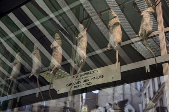 Ratten belagen Franse politici
