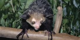 Fossiele 'vleermuis' blijkt toch halfaap