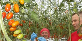 Minister Philippe Muyters (N-VA) plukt tomaten bij Den Berk Délice