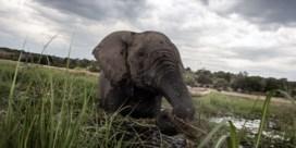 Stropers doden tientallen olifanten nabij wildpark in Botswana