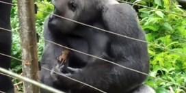 Gorilla sluit vriendschap met piepkleine galago