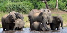 Waarom stropers Botswana viseren